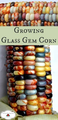 Growing Glass Gem corn is fun. It's such a bright, beautiful heirloom corn to grow. by mindy Organic Vegetables, Growing Vegetables, Organic Gardening, Gardening Tips, Vegetable Gardening, Container Gardening, What Is Glass, Glass Gem Corn, Grow Your Own Food