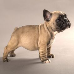Frenchie puppy!!!