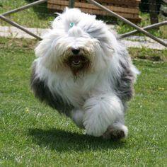 Old english sheepdog running