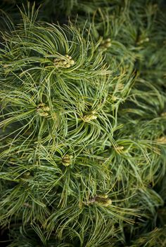 Pinus strobus Mini Twists