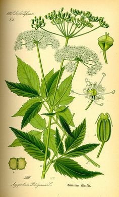 """Aegopodium podagraria - Bishop Weed, Ground Elder; ger.: Giersch edible (tasty) invasive """"weed""""; grow in containers and prevent from going to seed. tender leaves for salads or as spinach; dried as tea; trad. medicinal uses: : gout, rheumatism,; effects: laxative,  anti-rheumatic,  relaxing,  draining,  anti-inflammatory,  urate expectorant,  diuretic,  digestive stimulating"""