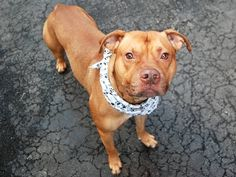 GONE 7-18-2015  --- RETURNED 7/6/2015 BITEPEOPLE --- SAFE 5-13-2015 --- SUPER URGENT - 01/30/15 Manhattan Center   My name is TERRY. My Animal ID # is A1025358. I am a male brown pit bull mix. The shelter thinks I am about 3 YEARS old.  I came in the shelter as a OWNER SUR on 01/13/2015 from NY 10460, owner surrender reason stated was NO TIME.  https://www.facebook.com/photo.php?fbid=976262422386637