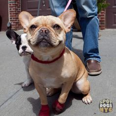 Lady & Hank by Spot Dogs NYC...French Bulldogs