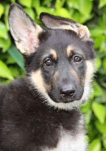 Puppie from Westside German Shepherd Rescue. ... check out my blog for dog owners with many training tips and more: http://tipsfordogs.info