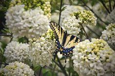 'Eastern Tiger Swallowtail' ~ Cumberland Falls State Resort Park, KY