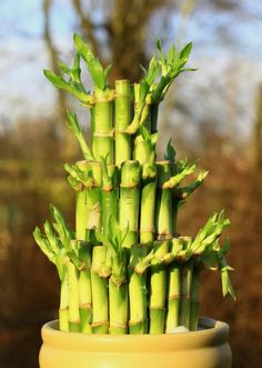 O bambu tem uma infinidade de usos e nós explicamos tudo o que precisa para o plantar! #bambu #plantar #jardim #quintal