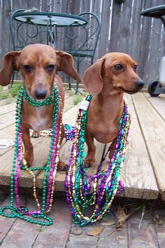 Your mini Dachshund! Post photos of your mini doxie in all of their fine, funny glory! Little dogs with big love! Weenie Dogs, Doggies, Mini Dachshund, Daschund, Mardi Gras Party, Dog Boarding, Little Dogs, Whippets, Cute Dogs