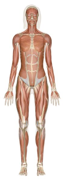 Human Anatomy: Learn All About the Human Body at InnerBody.com free and fun