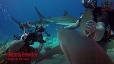 Diving with Caribbean Reef Sharks in the Bahamas and watching a feeding performance. #adventuretravel #travel #adventure #ttot #TravelBoldly #action #nature #explore #islands https://youtu.be/JP6OTh0aScM