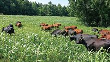Grazing as a forage supply