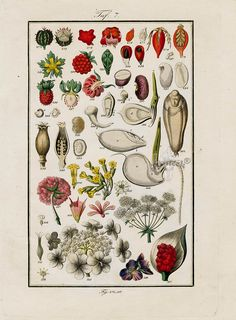 "Antique prints of ""Strawberry, Raspberry"" from Eduard Winkler Medicinal Prints 1832"