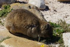 Dassie - Somehow this little rodent looking thing is actually related to an ELEPHANT! What?   Cape of Good Hope - South Africa