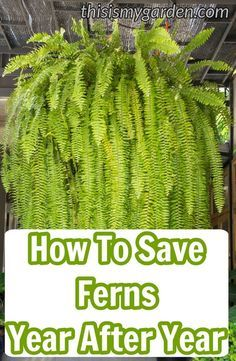 How to save your ferns year after year. Keep you outdoor ferns save from winter's fury. How to save your ferns year after year. Keep you outdoor ferns save from winter's fury. Shade Garden, Garden Plants, House Plants, Porch Plants, Container Plants, Container Gardening, Succulent Containers, Container Flowers, Outdoor Plants