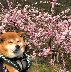 Shiba Inu Berry had enough of the nature hike. He needs to rest to stay so handsome!