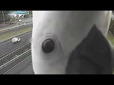 Curious cockatoo plays peek-a-boo with road camera