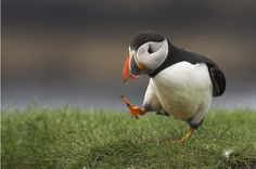 Puffin with a Purpose