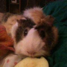 Pretzel guinea pig eating apple