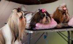Shih Tzu. Cute small Shih Tzu dogs resting before dog show #Sponsored , #Paid, #sponsored, #Tzu, #small, #dog, #Cute Cute Small Dogs, Watercolor Paper Texture, Shih Tzu Dog, Dog Show, Stock Photos, Cutest Small Dogs
