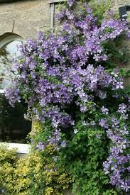 Clematis Alpina- Crawling vine for right side of the front door.