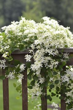 Sweet Autumn Clematis draped over the deck railing, which I may regret some day as it overgrows the railing and eats the deck.
