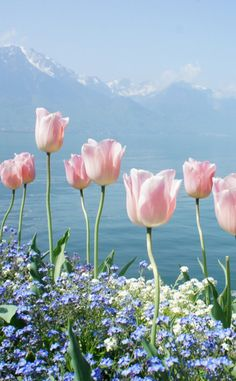 Pink Tulips with blue sea and blue sky view