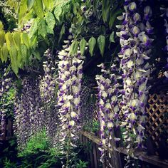 Wisteria sinensis ❤️ omg, my neighbour is probably gonna be so creeped out by me sniffing his vine for the next couple weeks.  #vancouverhort #plantoftheday #plantsaresocool