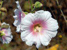 alcea dissecta - flower in Israel