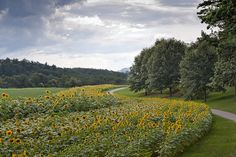 Biltmore Sunflowers Asheville NC