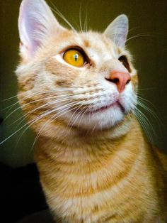 Aww, my cat was named Milton: Milton and his beautiful eyes staring out the window in the morning. - Imgur Ginger Cats, He's Beautiful, Fur Babies, Funny Jokes, Kitty, Cat Eyes, Interesting Stuff, Animals, Friends