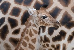 A newborn giraffe calf in Germany  A newborn calf is pictured at the giraffe section of the Zoo in Hanover. The young Rothschild giraffe was born on June 5th, 2012 weighing about 100 kg and being almost 2m tall.