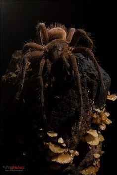 Tarantula at night
