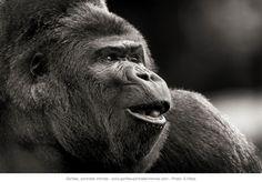 © Sébastien Meys Gorille en pleine communication vocale