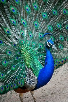 The Majestic India-blue Peacock: Pavo cristatus Peacock Images, Peacock Pictures, Picture Of A Peacock, Peacock Bird, Peacock Feathers, Peacock Colors, Peacock Eggs, Exotic Birds, Colorful Birds