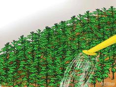 Imagen titulada Grow Chrysanthemums Step 19