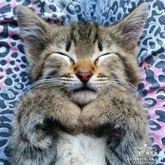"""«From @happycatfamily: """"Being cute is very tiring but someone's gotta do it """" #cutepetclub»"""