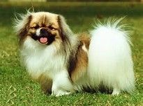 Image result for Tibetan Spaniel Puppies