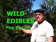WILD EDIBLES - Pine Tree Tea