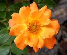 Posterized Orange Rose Blossom by Mary Sedivy.