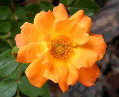 Posterized Orange Rose Blossom by Mary Sedivy.