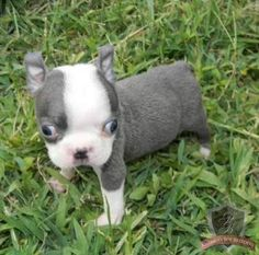 Boston Terrier Puppies For Sale Akc Blue Champagne Boston