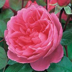 John Clare - David Austin Roses