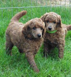 AKC Apricot standard poodle. fluffy puppy. 6 weeks sugar n