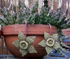 Orbea variegata  aka Toad Cactus, Starfish Cactus, Carrion Flower #cactusflowerpot