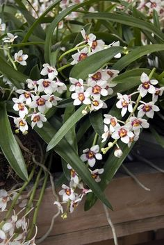 Orchids, Sarcochilus fitzgeraldii