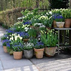 tulips garden care White tulips and forget-me-nots tulips g. - Garden Care tips, Garden ideas,Garden design, Organic Garden Back Gardens, Small Gardens, Outdoor Gardens, Tulips Garden, Garden Pots, Blue Garden, Potted Garden, Garden Sheds, Garden Spaces