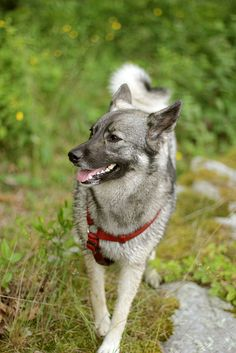 I would like one. Please and thank you. #elghund #elkhound