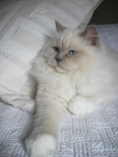 Pinner Said: Lilac point Mink Mitted variant. This is NOT a Ragdoll. True Ragdolls have blue eyes, because they are a pointed breed. Protect and breed for the Ragdoll standard!! https://www.cleavercat.com/product-category/cat-food/wet-food/ #ragdollcatmitted #ragdollcatblue