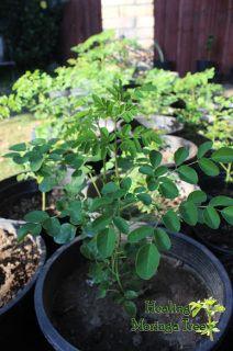 Buy Moringa Tree Species, Organic Moringa trees, Moringa Trees for sale, Tropical Garden Design, Rock Garden Design, Japanese Garden Design, Garden Shrubs, Garden Planters, Garden Table, Balcony Garden, Amazing Gardens, Beautiful Gardens
