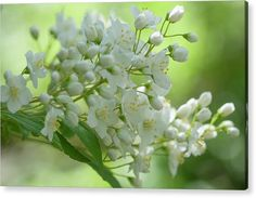 Acrylic Print featuring the photograph White Blooms Of Slender Deutzia 6 by Jenny Rainbow Art Prints For Home, Fine Art Prints, Thing 1, Wall Anchors, Acrylic Sheets, Got Print, Any Images, Beautiful Artwork, Fine Art Photography