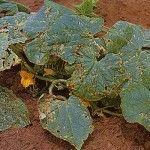 Curcubit leaf disorders image of angular leaf spot Growing Melons, Texas Plants, Crop Rotation, Plant Diseases, Disease Symptoms, Disorders, Gardening Tips, Seeds, Leaves